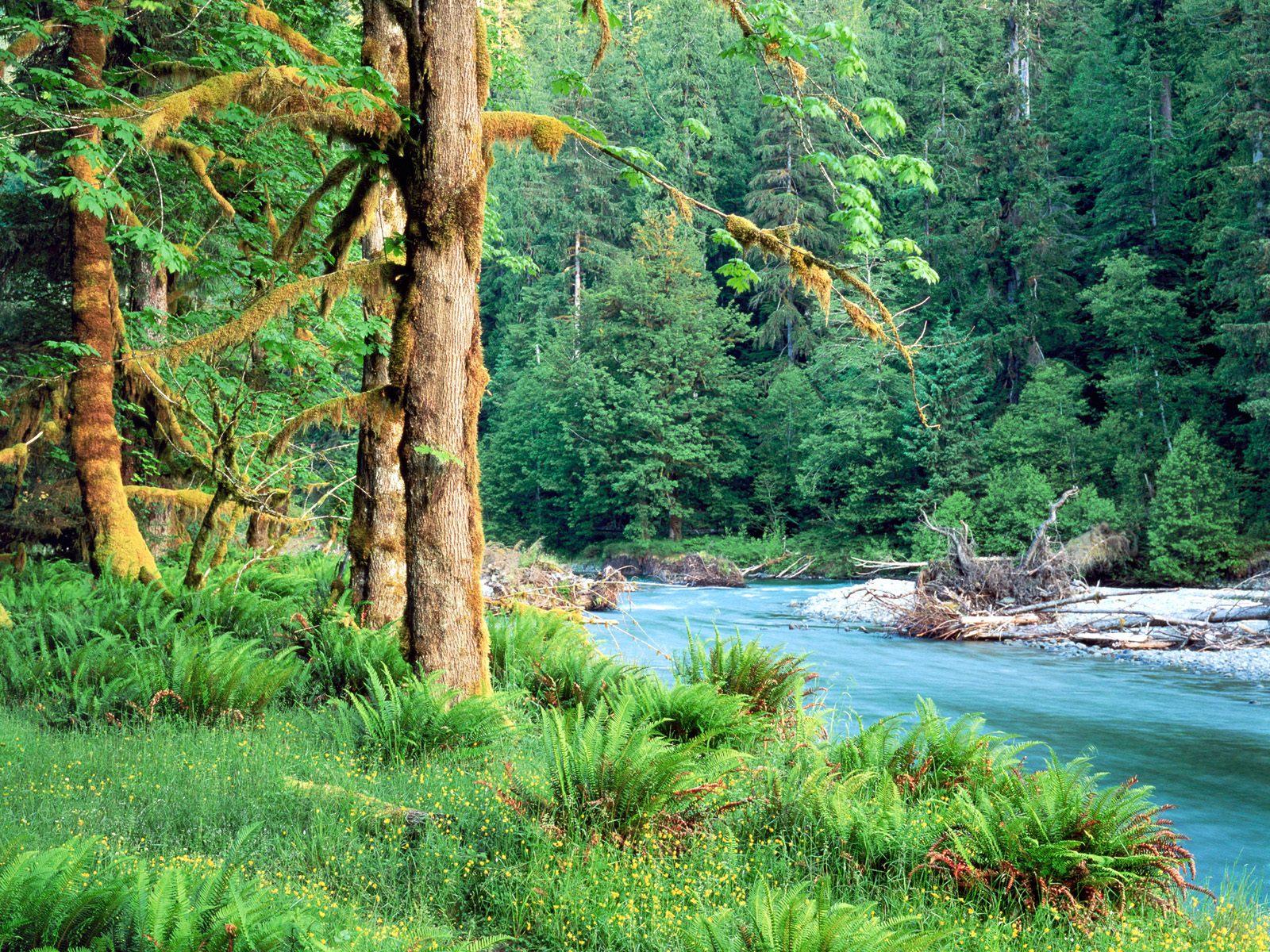 Big leaf maple trees quinault river. quinault rain forest washington